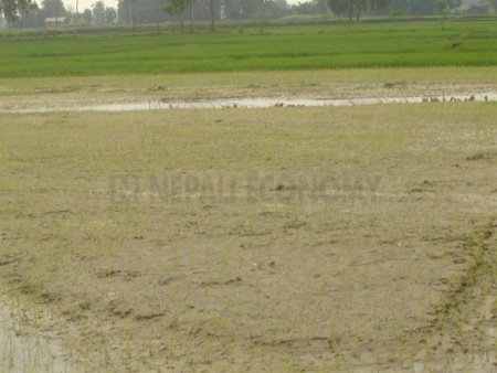 Paddy output to fall 18 per cent due to natural disasters