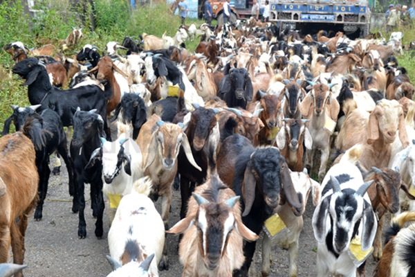 Nepal Food Corporation to import 3,400 goats for Dashain